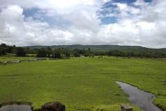 Kor och bufflar som betar i en öppen grässlätt Arkivbild