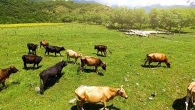 Kor och får som betar på grön gräsmatta, samlas och brukar, lantligt landskap royaltyfri fotografi