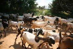 Kor och getflock fotografering för bildbyråer