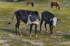 kor och hästar är betande i samma jordning arkivfoton
