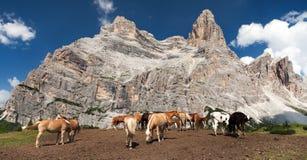 Kor och hästar under Monte Pelmo i italienare Dolomities Royaltyfri Fotografi