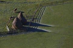 Kor och höstackar på soluppgång Royaltyfria Bilder