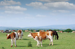 Kor och kalv Royaltyfri Bild
