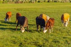 Kor och kalvar som betar i en äng Royaltyfri Foto