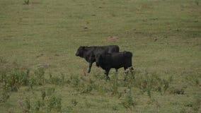 Kor och nötkreatur på en lantgård i Oklahoma arkivfilmer