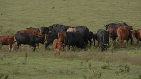 Kor och nötkreatur på en lantgård i Oklahoma stock video