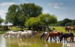 Kor och ponnyer tillsammans i vattnet Royaltyfri Foto