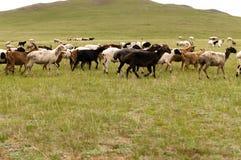 Kor och tjurar Arkivbild