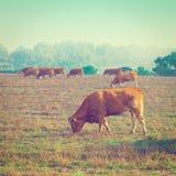 Kor och tjurar arkivfoto