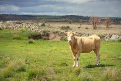 Kor och tjurar betar på, frodigt grönt gräs royaltyfri fotografi
