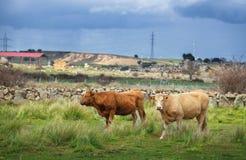 Kor och tjurar betar på, frodigt grönt gräs royaltyfri foto