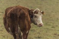 Kor och tjurar på morgonäng arkivbild