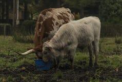 Kor och tjurar på morgonäng fotografering för bildbyråer