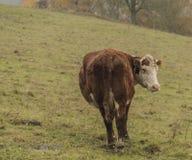 Kor och tjurar på morgonäng royaltyfri foto