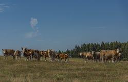 Kor och tjurar som över kör, betar land arkivbild