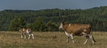 Kor och tjurar som över kör, betar land royaltyfria bilder