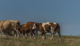 Kor och tjurar som över kör, betar land fotografering för bildbyråer