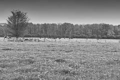 Kor och tjurar som betar på ängar arkivfoto