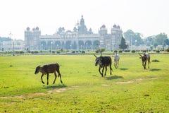 Kor och tjurar som går i trädgården av den Mysore slotten, Indien arkivbild