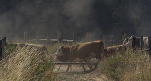 Kor och tjurar som kör över den smutsiga banan arkivbilder