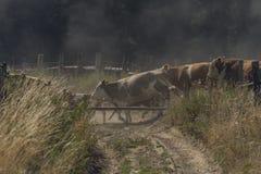 Kor och tjurar som kör över den smutsiga banan arkivfoto