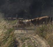 Kor och tjurar som kör över den smutsiga banan royaltyfri fotografi