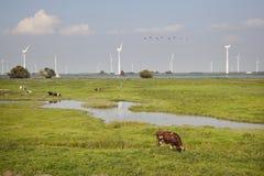 Kor och vindturbiner nära Spakenburg i holland Arkivfoto