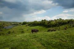 Kor på äng med grönt gräs arkivfoto