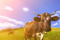 Kor på alpina ängar Royaltyfri Fotografi