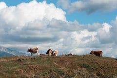 Kor på bakgrunden av ett berglandskap Royaltyfria Bilder