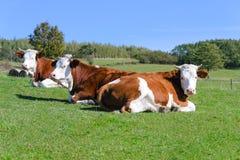 Kor på berg betar Arkivfoton