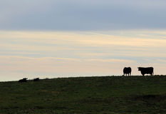 Kor på betar i Vermont Arkivfoton