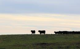 Kor på betar i Vermont Arkivbilder