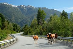 Kor på den Austral Carreteraen, Chile arkivbilder
