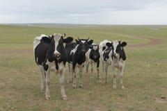 Kor på den Hulun Buir grässlätten Royaltyfri Foto