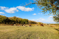 Kor på det gula gräset under den blåa himlen Royaltyfri Bild