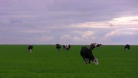 Kor på en äng stock video
