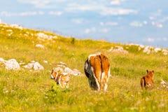 Kor på en äng i fjällängar Österrike royaltyfri foto