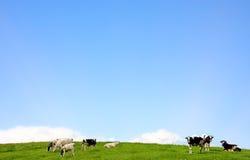 Kor på en beta Arkivfoto