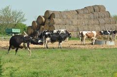 Kor på en lantgård arkivbilder
