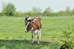 Kor på en lantgård arkivbild
