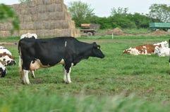 Kor på en lantgård arkivfoton