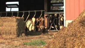 Kor på en lantgård i Kanada lager videofilmer