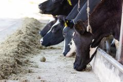 Kor på en lantgård och flock av kor som äter hö arkivfoton