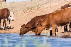 Kor på ett brunnsortdrinkvatten och att bada under stark värme och torka fotografering för bildbyråer