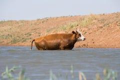Kor på ett brunnsortdrinkvatten och att bada under stark värme och torka arkivbilder