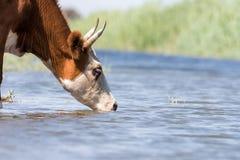 Kor på ett brunnsortdrinkvatten och att bada under stark värme och torka royaltyfri bild
