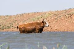 Kor på ett brunnsortdrinkvatten och att bada under stark värme och torka royaltyfri foto