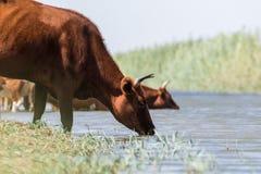 Kor på ett brunnsortdrinkvatten och att bada under stark värme och torka royaltyfria bilder