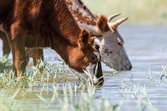 Kor på ett brunnsortdrinkvatten och att bada under stark värme och torka royaltyfria foton